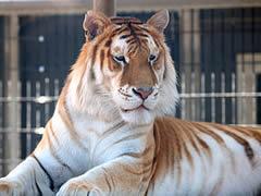 Orange_bengal_tiger_at_Cougar_Mountain_Zoological_Park_1