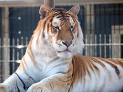 Orange_bengal_tiger_at_Cougar_Mountain_Zoological_Park_1